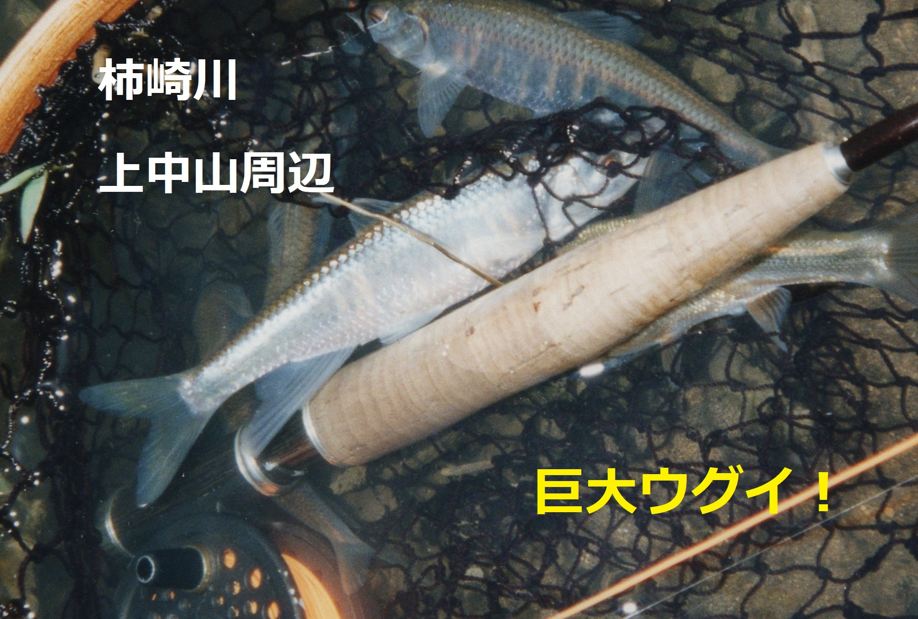 柿崎川 オイカワ