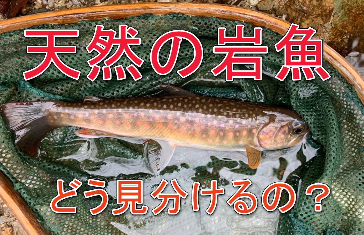 天然岩魚 フライフィッシング
