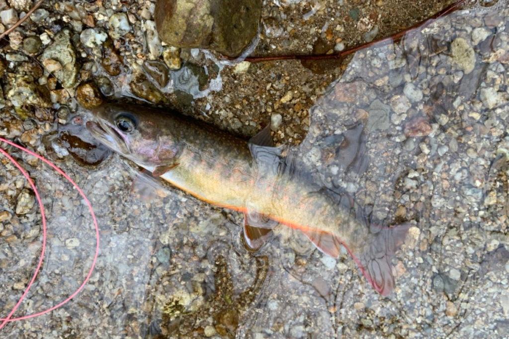 天然の岩魚
