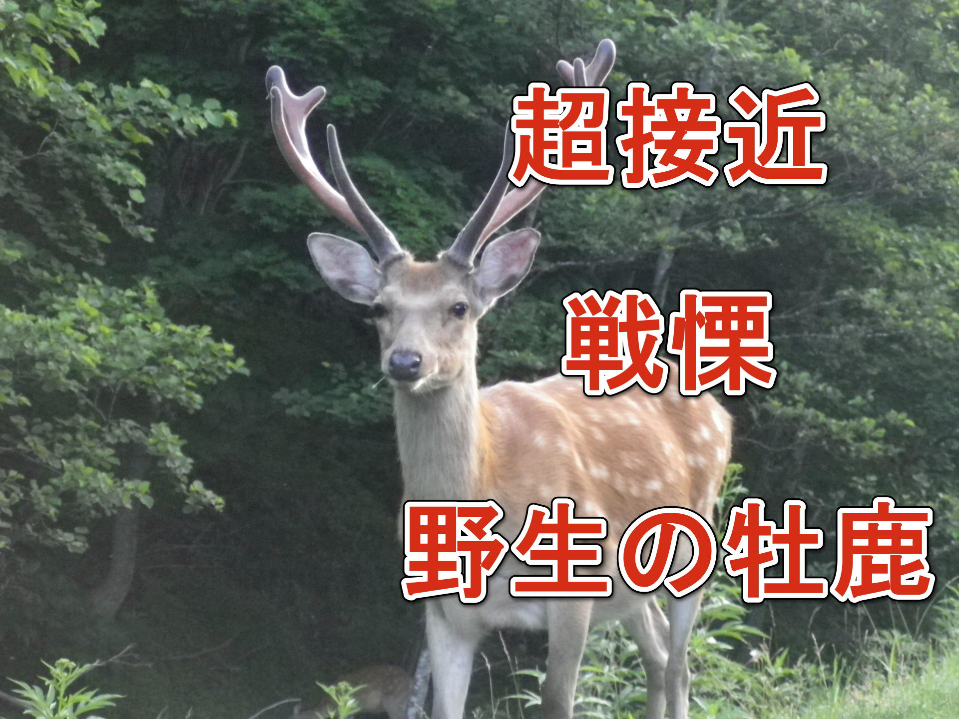 牡鹿 野生動物